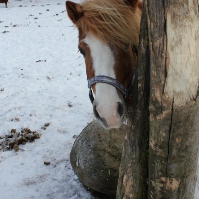 Lille Ponny